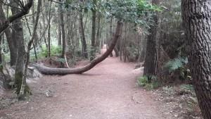 Cet arbre se trouve le long de la boucle de Barenton et montre les courants énergétiques invisibles existant et le contraignant dans sa croissance.