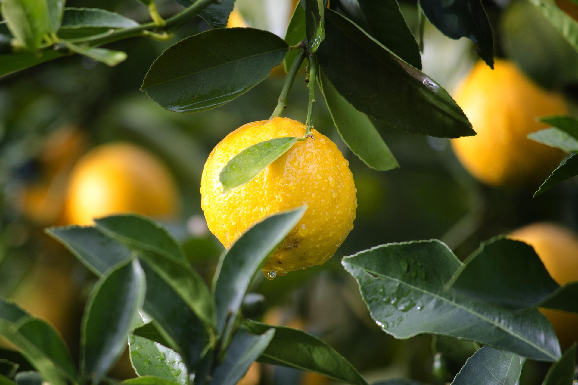 le citron jaune zest, huile essentielle digestive